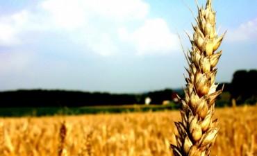 "Cosecha de Trigo: "" había una expectativa sobre el cultivo, que no se cumplió"""