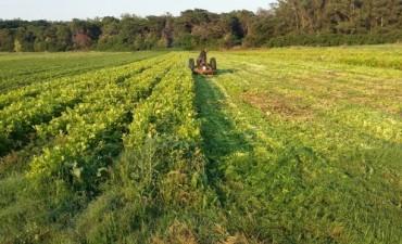 Destrucción de plantaciones de apio y perejil no aptas para el consumo