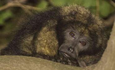 Un equipo de La Máxima viajó a Azul a rescatar un mono