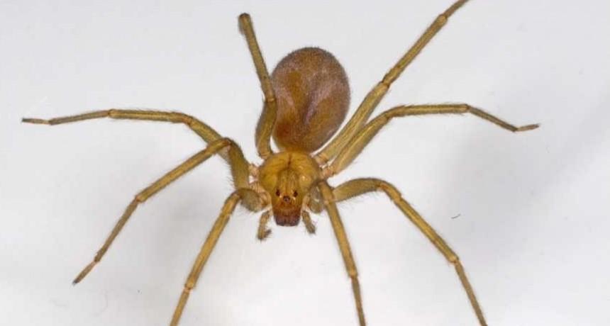 Salud de la Provincia elaboró, por primera vez, el suero contra la picadura de la 'araña de rincón'