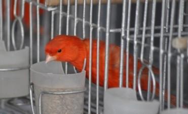 Se realiza la Expo Canaricultura y Ornitología