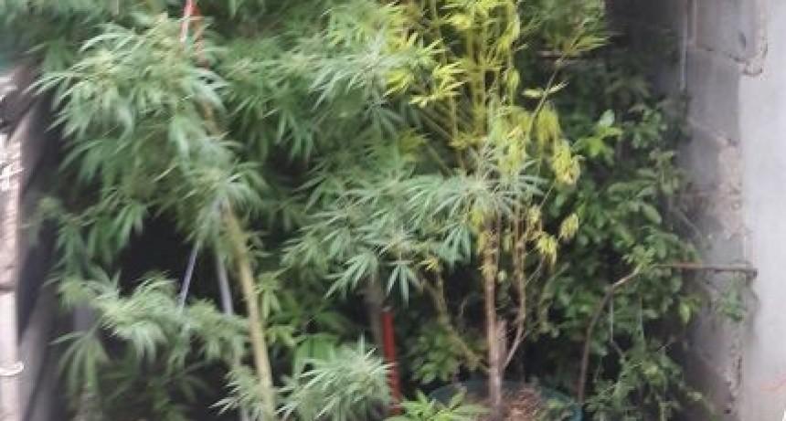 Secuestran once plantas de marihuana en allanamiento