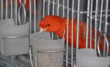 Está en marcha la Expo Canaricultura y Ornitología