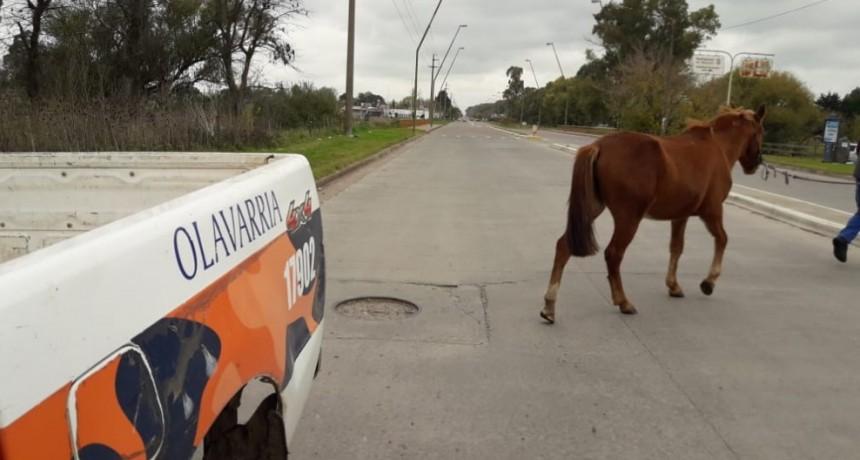 Más controles por animales sueltos en la vía pública