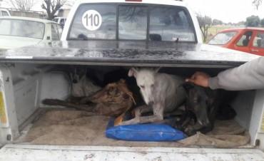 Más decomisos de liebres por caza ilegal