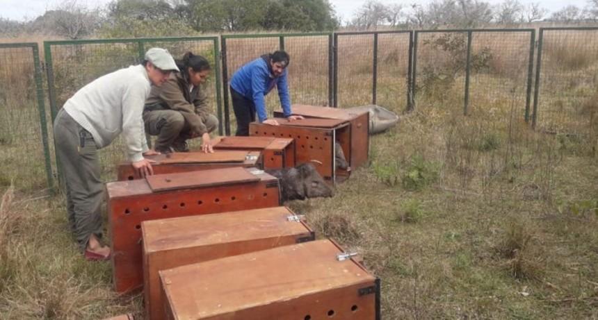 Se realizó la pre liberación de pecaríes en los Esteros del Iberá