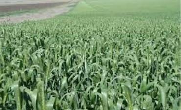 Condiciones del trigo y la cebada en Olavarría