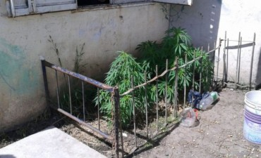 Secuestran cinco plantas de marihuana