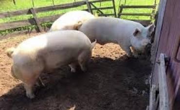 Mauricio Gourdón presentó el 63º Remate de reproductores porcinos