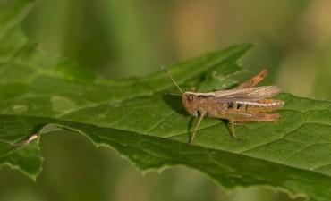 Prevención de tucuras: capacitación sobre monitoreo e identificación de especies